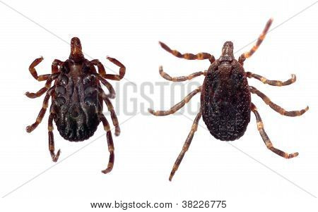 Ventral and dorsal view of a tick (Hyalomma sp.) isolated over a white background. poster