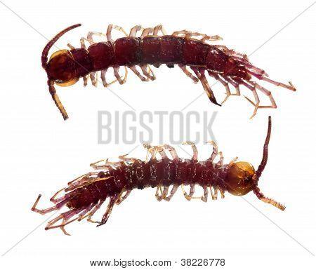 Centipede Dead