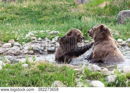 A Female Grizzly Bear Reaching Up To Smack A Male Grizzly Bear With A Ribbon Of Water Trailing From