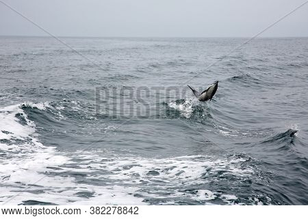 Dolphin. Common Dolphin Jumping and Swimming in the Pacific Ocean.