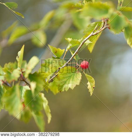 Leaves And Fruit Of The Service Tree (sorbus Torminalis), Very Rare In Europe