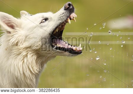 Female Of Swiss White Shepheard Catching Water Drops In Spring Park