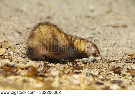 Ferret Posing As A Hunting Predator With Small Fish On Water Bank