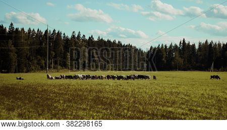 Cows Graze On A Green Meadow. Dairy Breeds Of Cows. Cattle On The Pasture. Walking Cows In The Field