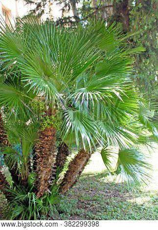 Chamaerops Humilis, Mediterranean Fan Palm, Palm Tree With Green Round Small Fruits, With Fan-shaped