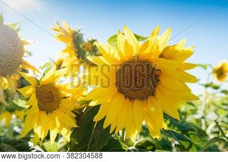Sunflowers Against A Blue Sky On The Field.