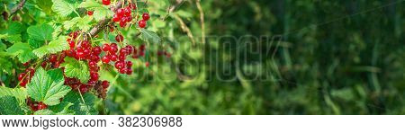 A Bunch Of Red Currants On A Currant Bush. Summer Harvest Background. Banner. Valentine's Day.