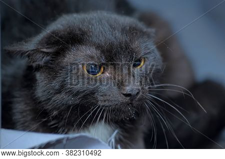 Angry Black Cat, Ears Tucked Close Up