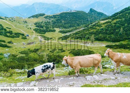 Cow Standing On Road Through Alps. Cow And Calf Spends The Summer Months On An Alpine Meadow In Alps