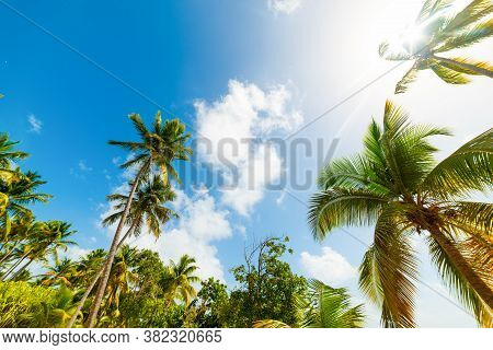 Palm Trees Under A Shining Sun In Guadeloupe, French West Indies. Lesser Antilles, Caribbean Sea