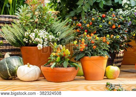 Orange Nightshade Berries And Small Paprika Fruits In Clay Pots, Greenhouse Garden Decor. Fresh Natu