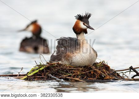 Great Crested Grebe Floating On Water In Springtime.