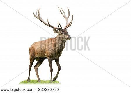 Majestic Red Deer Stag Marching On Glade From Side View Isolated On White Background