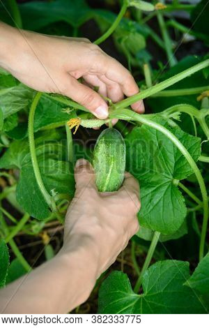 Hands Of White Caucasian Woman Holding Fresh Harvest Of Green Cucumber, Close-up Vertical Stock Phot