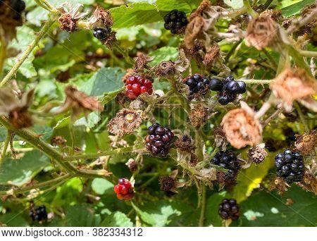 Wild Blackberries Ripening On Bush Outdoors In Nature