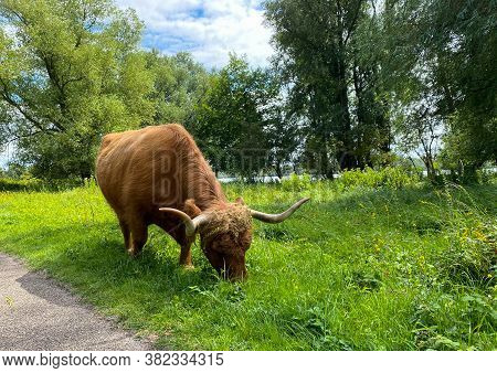 Brown Highland Mountain Cow With Horns Grazing On Grass