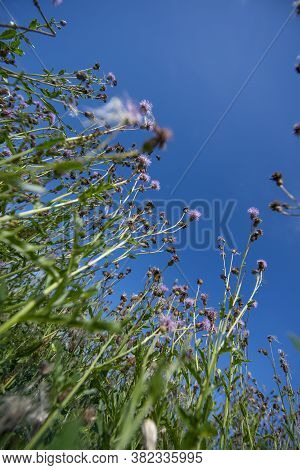 Weeds - Thistles On A Field Close Up