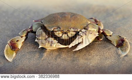 crab on the sand at sunset, a strong carapace for protection and two big claws for defense, this crustacean is a formidable fighter. macro photo on a beach on a Thai island near Krabi