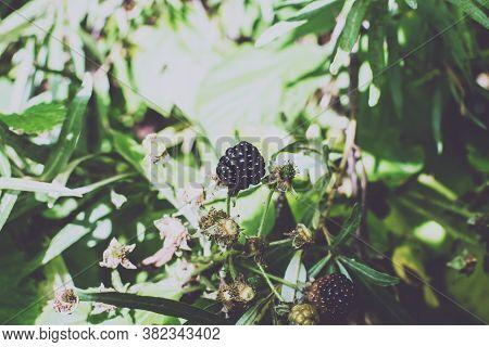 Wild Bramble, Black Berry Grow In Sokolniki Park, Moscow