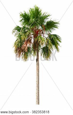 Palm Tree And Fruit Ornamental Plants Beautiful Isolated On White Background