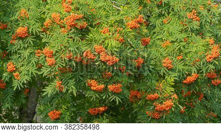 Tree With Clusters Of Ripe Rowan. Selective Focus.