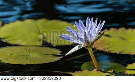 Purple Water Lily (nymphaea Species) Flower On Large Round Leaves