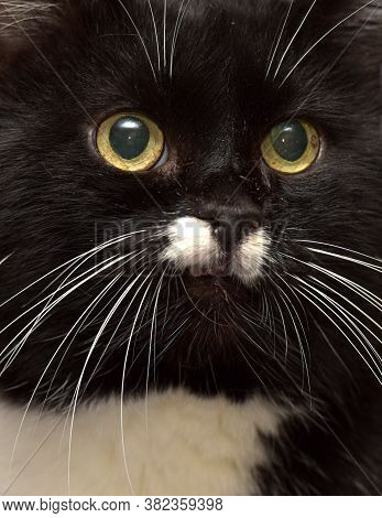 Black And White Cat With A White Mustache
