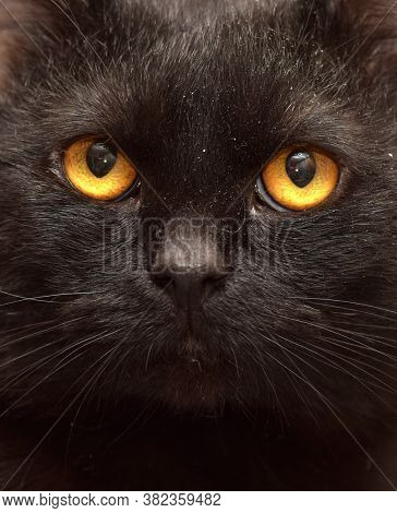 Bombay Cat On A Gray Background Close Up