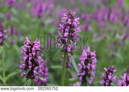 Blooming Betonica Officinalis, Common Names Betony, Purple Betony, Common Hedge Nettle. Medicinal Pl