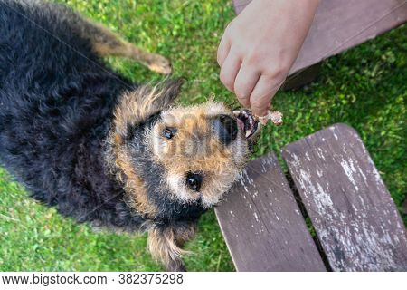 Senior Dog Eating Food Out Of Human Hand Outside In Yard. Old Dog Opening Mouth And Taking Meat Out