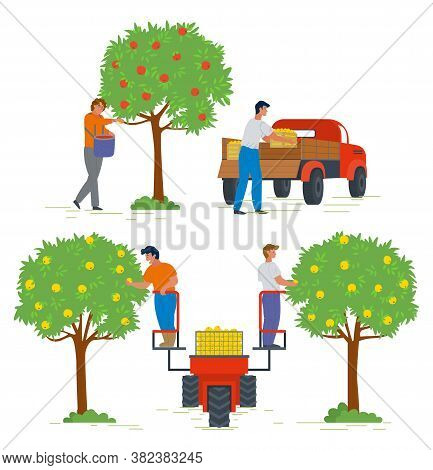 Apple Tree With Ripe Fruits Vector, People Working In Garden. Gardening And Farming, Lorry For Produ
