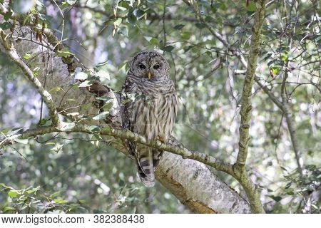 Juvenile Barred Owl Bird At Richmond  Bc Canada