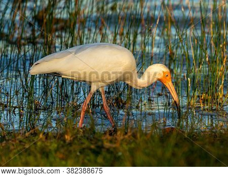 A Beautiful White Ibis Captured Feeding Along The Edge Of A Small Lake In Everglades National Park I