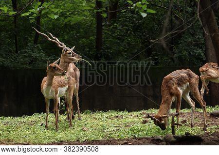 Herd Of Vulnerable Species Of Reindeer And Buck Grazing The Grassland. Deers Looking In Same Directi