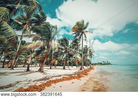 Palm Trees By The Water In Bois Jolan Beach In Guadeloupe, French West Indies. Lesser Antilles, Cari