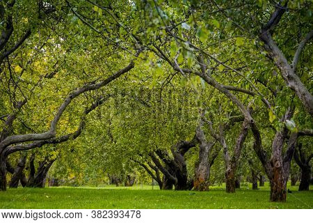 Old Crooked Apple Trees, Orchard In The Autumn City Park.