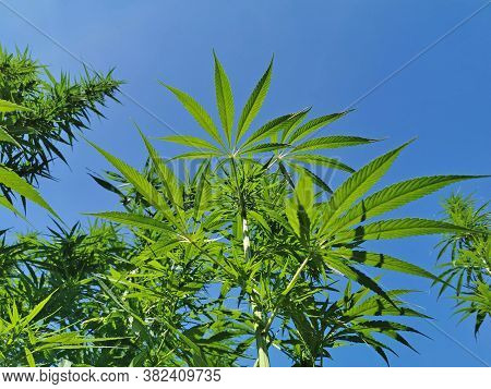 Low Angle View Of Hemp Plants In Front Of A Clear Blue Sky, Background With Copy Space