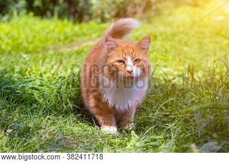 Red Cat On The Green Grass . A Pet. An Ordinary Cat. Cat On A Walk. Walking Pets. Fear In The Eyes O