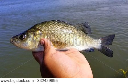 Holding A White Perch Before It Is Released Into The Water