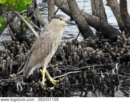 Juvenile Black Crowned Night Heron In Florida