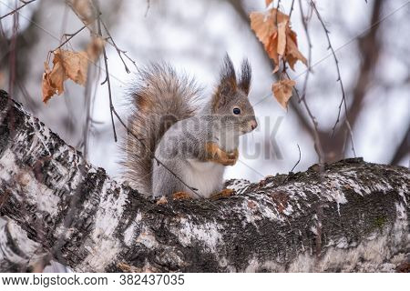 Squirrel In Winter Sits On A Birch Tree Trunk. Eurasian Red Squirrel, Sciurus Vulgaris, Sitting On T