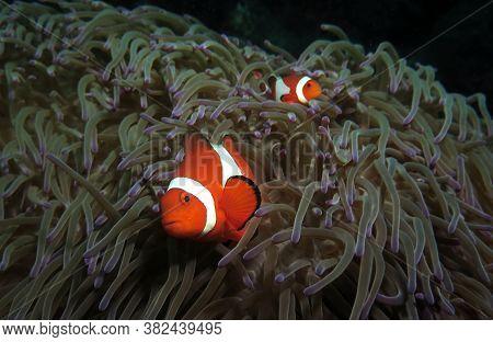 Pair Of False Clown Anemonefish In Anemone Cebu Philippines