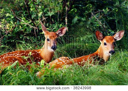 Two Whitetail Fawn Resting