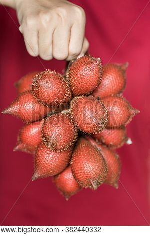 Red Salacca Fruit Holding By Hand, Palm Fruit Native In Southeast Asia