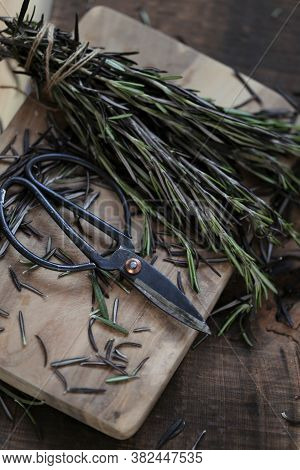 Fresh Rosemary.aromatic Herbs And Spices. Green Rosemary Twigs Bunch And Garden Shears .rustic Style