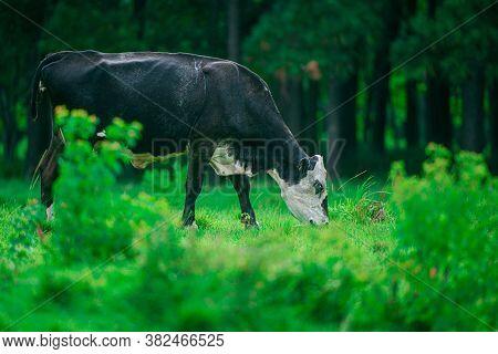 Holstein Friesian Dairy Cows In Field Near Green Grass Field