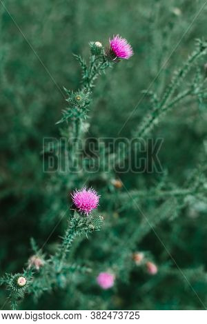 Close Up Of Wild Flowers Nature Background. Nature Background Of Purple Flowers In The Grass. Green