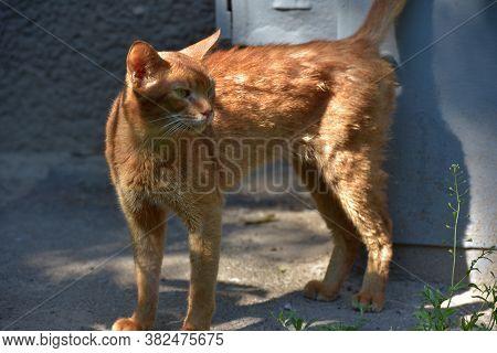 Homeless Skinny Abyssinian Cat
