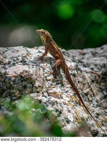 Lizard Standing On The Rocks In A Sunny Day, Under A Hard Sun. Sunny Day With A Lizard On The Floor