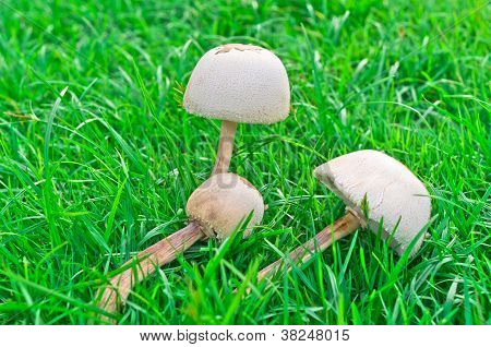 The Poisonous Mushrooms
